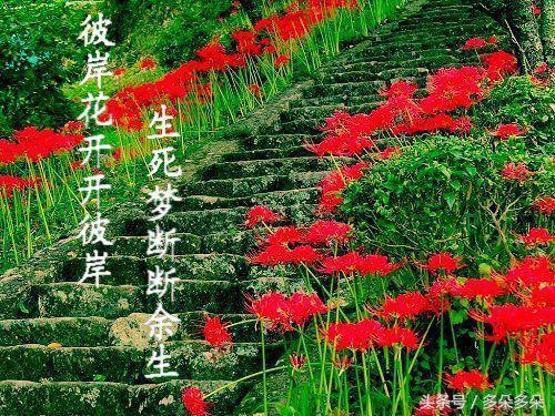彼岸花,開一千年落一千年,花葉永不見 情不為因果緣註定生死 - 每日頭條