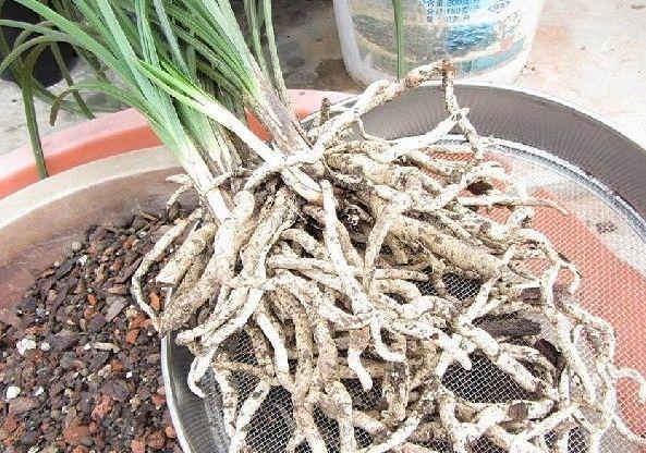 養蘭高手給蘭花澆水方法,噴灑的水要細,量不宜過多,以濕潤為度 - 每日頭條