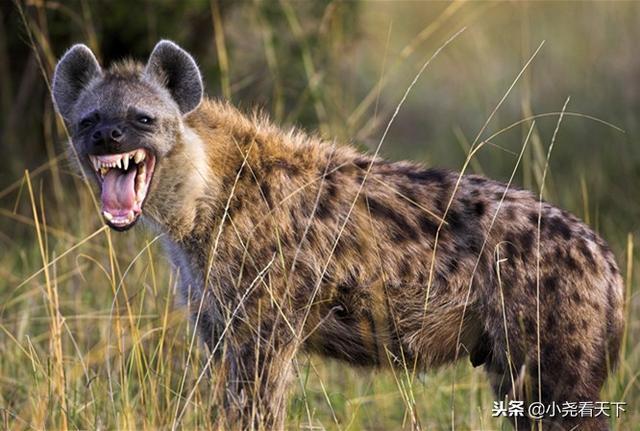 不要混淆!動物世界裡的非洲鬣狗根本不是一種。戰鬥力也相差甚遠 - 每日頭條