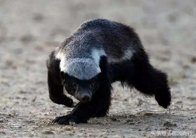 盤點蜜獾的戰鬥史。你根本不知道平頭哥有多厲害! - 每日頭條