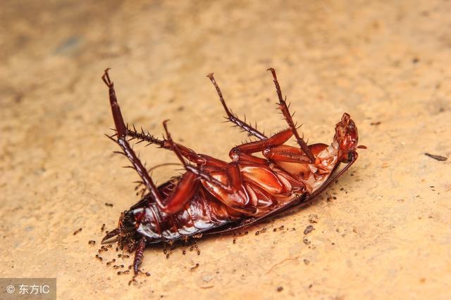 家裡有蟑螂太多怎麼辦,千萬別踩,教你一招,蟑螂死光光! - 每日頭條
