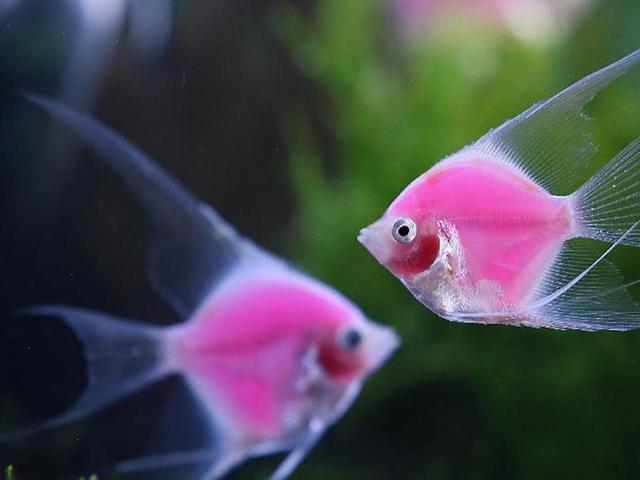 熱帶魚中優雅的小公舉《神仙魚》養殖大全 - 每日頭條