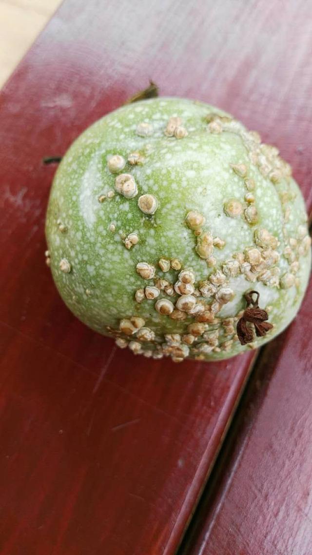 百香果樹常見蚧殼蟲危害有哪些。該如何防治? - 每日頭條