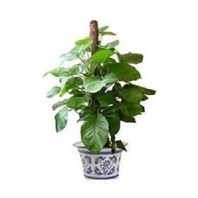 辦公室花卉:盆栽綠蘿的種植方法 - 每日頭條