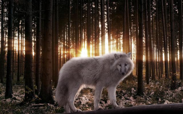 動物圖集:狼 學狼族的團隊精神 - 每日頭條