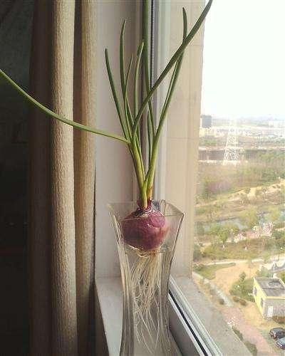 鄰家姐姐說家裡的洋蔥發芽了要丟掉,我馬上過去教她一個小妙招 - 每日頭條