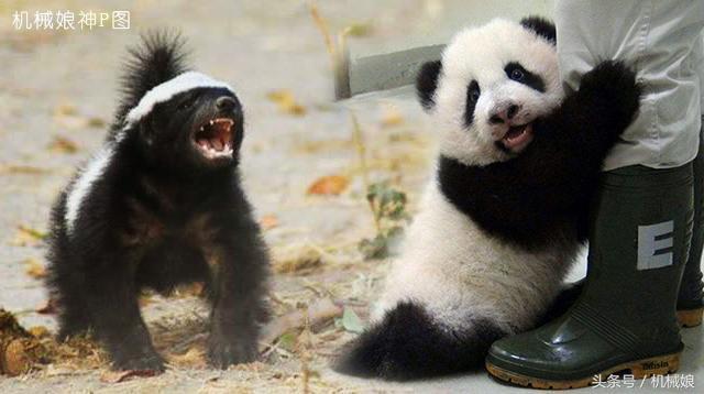 蜜獾和大熊貓的史詩級巔峰對決。看兩大神獸誰能勝出! - 每日頭條