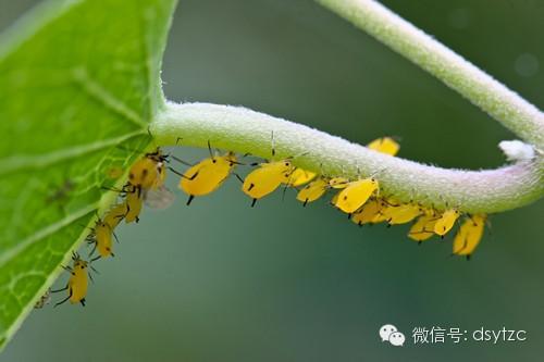 防治蚜蟲及其他蟲害的無公害方法 - 每日頭條