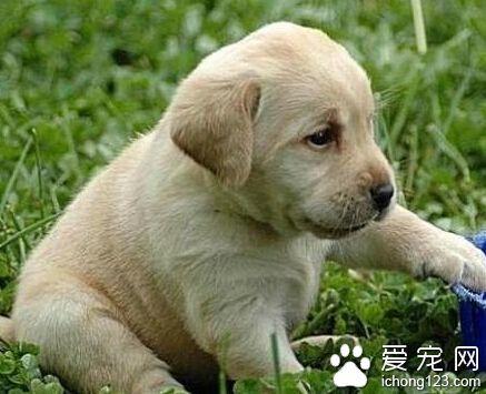 拉布拉多幼犬吃什麼 多吃一些含鈣的產品 - 每日頭條
