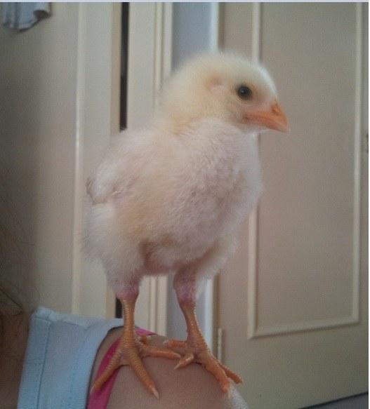 養了一隻小雞被所有人主人將曬雞文。分享到後網絡網友全都贊爆了 - 每日頭條