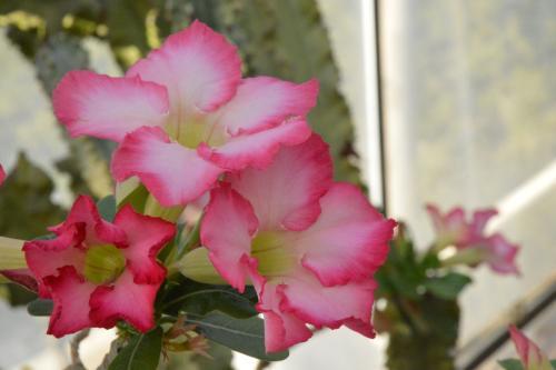 沙漠玫瑰盆景日漸流行!如何正確防範葉片發黃與爛根。你知道嗎? - 每日頭條