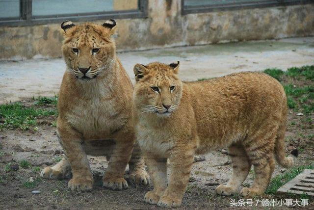 獅子和老虎的愛情。它們生出的小孩叫做獅虎獸 - 每日頭條