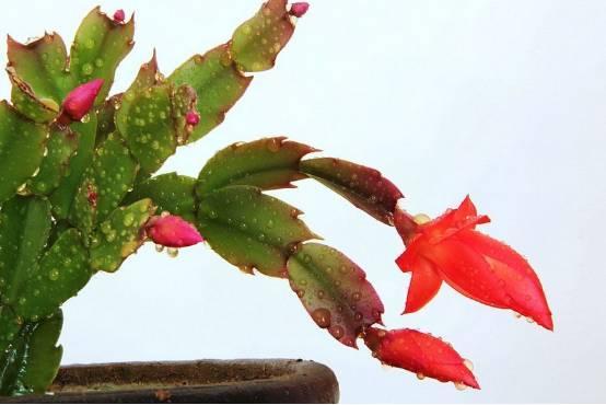 蟹爪蘭這樣修剪。才能花開不斷 - 每日頭條