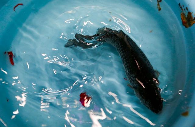雙氧水能讓魚死而復生? 實驗證明「復活」後存活時間很短 - 每日頭條