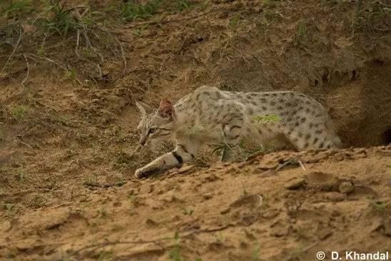 貓科:優美的獵食者(一) - 每日頭條