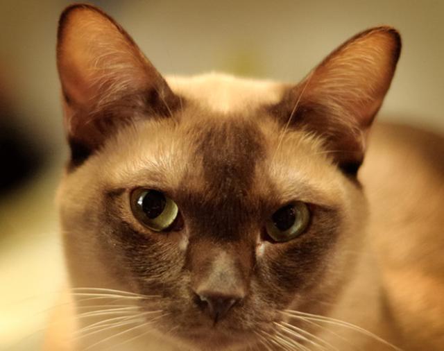 教你選貓系列。貓咪品種介紹及品相判斷(7)——緬甸貓 - 每日頭條