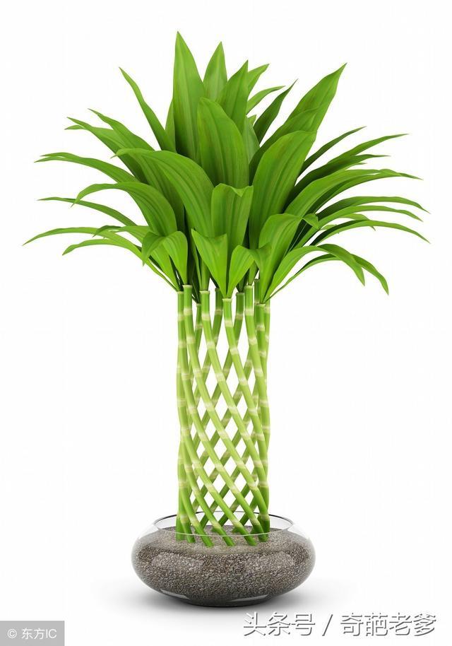 富貴竹葉子發黃怎麼辦。只需要一招。葉子一年四季綠油油 - 每日頭條