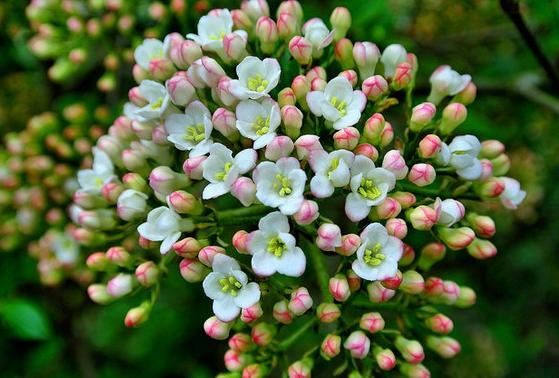 すべての美しい花の畫像: 心に強く訴える月桂樹 花