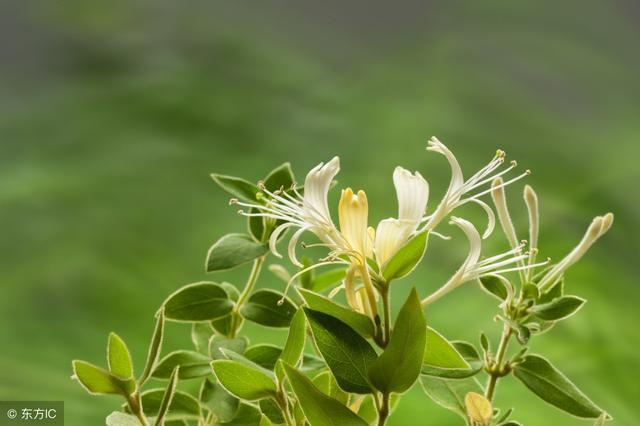 中醫寶典「金銀花」。清熱解毒、抗炎、補虛療風 - 每日頭條
