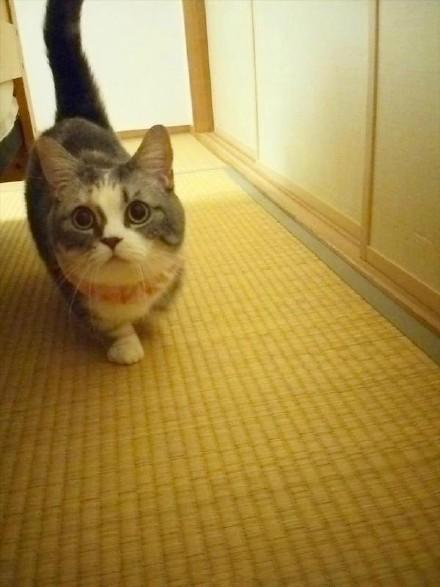 曼基康貓又名短腿貓,腿一短,就只能永遠當萌貨,一點都高冷不了 - 每日頭條