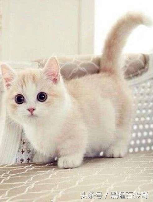 這種超可愛的小貓叫芒奇金貓,它們是到成年都不會長大的小短腿 - 每日頭條