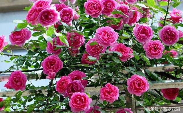 10種開花成片的月季。超級好養。長到陽臺放不下! - 每日頭條