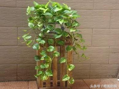 綠蘿盆栽1個多月。瘋長成這樣 - 每日頭條