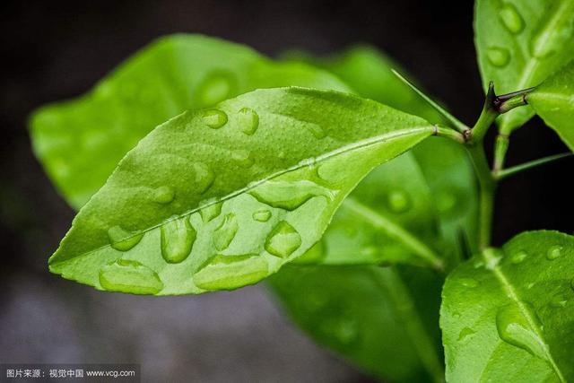 中藥材檸檬葉 - 每日頭條