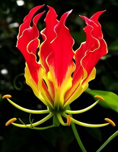 火焰百合——嘉蘭 - 每日頭條