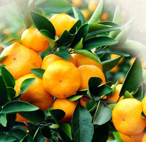 冬天水果來了。你挑選哪種水果吃 - 每日頭條
