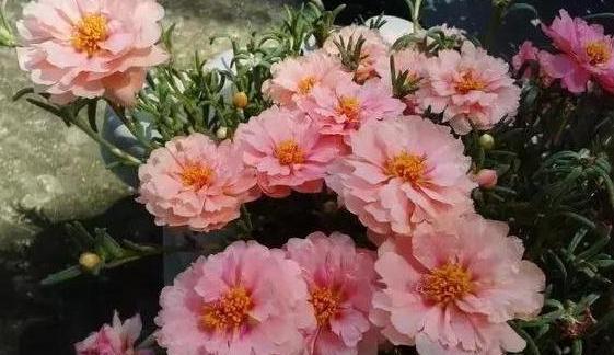 傳說中死不了的花!最適合懶人。種在花盆中忘記澆水都能活! - 每日頭條