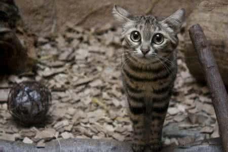 黑足貓:地球上最小的貓科動物。生長於沙漠喜夜行。吃蜘蛛老鼠 - 每日頭條
