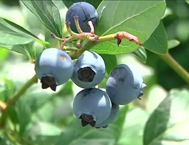 距離城區不遠有個藍莓基地,聽說已經開採了,周末約不約? - 每日頭條