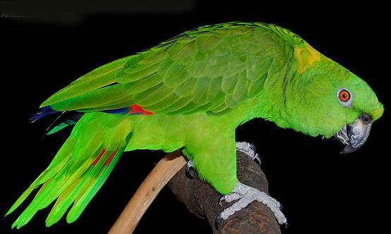亞馬遜鸚鵡,你覺得哪個品種好看(上) - 每日頭條