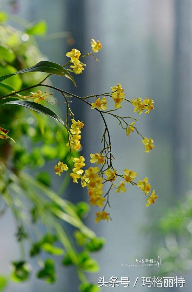 植物筆記-帶來一縷清風的迷你文心蘭 - 每日頭條