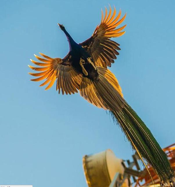 罕見的孔雀飛翔畫面:美到驚艷! - 每日頭條