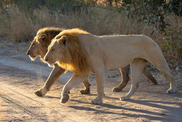 闢謠:斑鬣狗咬合力比獅,虎還大嗎? - 每日頭條