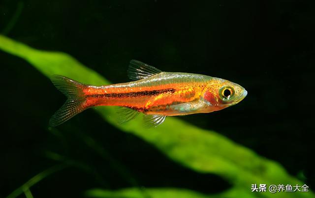 燈魚雜談 | 歷史悠久的觀賞魚先驅:三角波魚 - 每日頭條