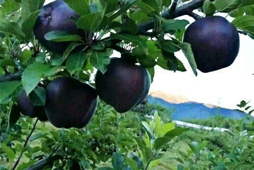 「黑鑽」蘋果產量高。一斤賣60塊。果農搶著種。直呼:「賺翻了」 - 每日頭條