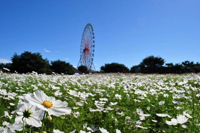 北海道九月可以賞薰衣草,波斯菊,向日葵,還有楓紅 - 每日頭條