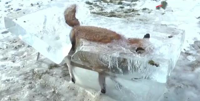 狐貍不小心掉入河裡,瞬間被凍成冰,俄羅斯冬天好可怕! - 每日頭條