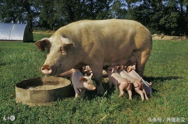 農村養豬:母豬每天該怎麼餵料?餵多少才好? - 每日頭條