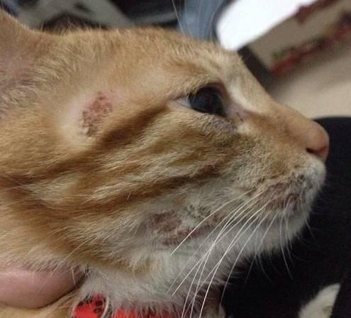 擼貓需謹慎 鏟屎官都為貓蘚而煩惱。究竟該如何治療和預防? - 每日頭條