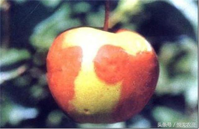 蘋果爛果爛根是怎麼回事?蘋果樹種植怎麼防治爛果爛根 - 每日頭條