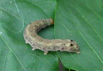蔬菜害蟲:小菜蛾和甜菜夜蛾的診斷與藥劑防治 - 每日頭條