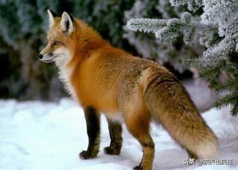農村老故事中的「五大家仙」:狐黃白柳灰。指的是哪五種動物? - 每日頭條