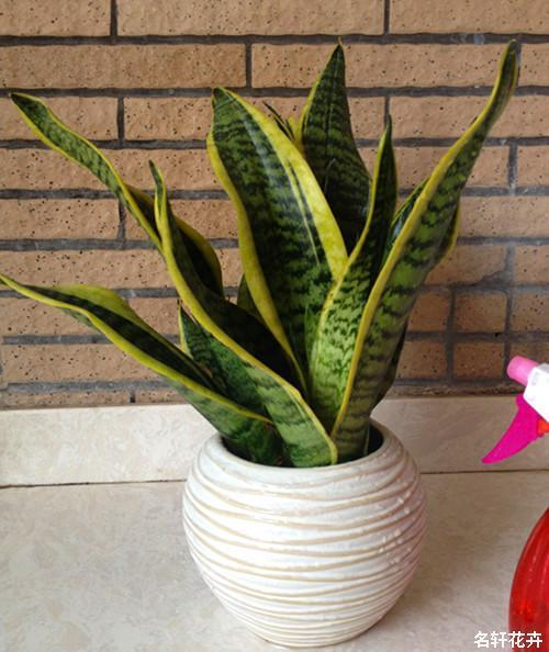 虎皮蘭種植技巧 - 每日頭條