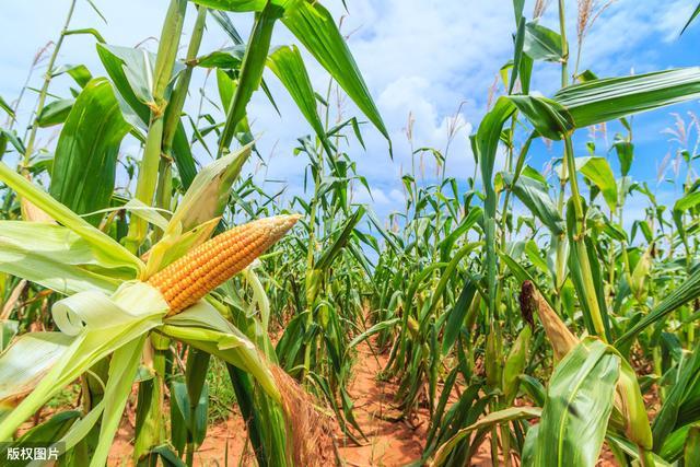 甜玉米優質栽培。這些要點需做好。有助於種植戶增收 - 每日頭條
