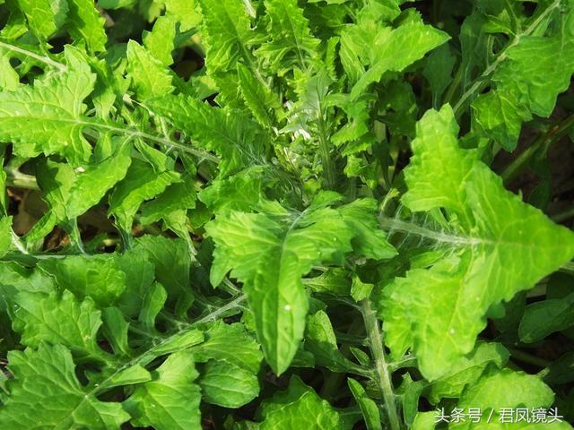 泥胡菜:花朵似繡球 主治乳腺炎 疔瘡 風疹 - 每日頭條