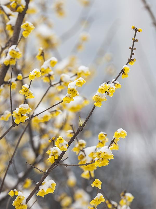 邢臺沙河梅花公園臘梅傲雪迎春 - 每日頭條